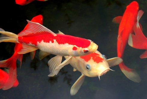 Vis en schelpdierziekten wur for Carpe koi orange