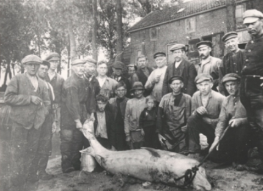 1917, bycatch in commercial salmon fisheries in the Rhine river delta of a large adult European sturgeon.