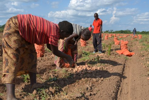 Hackaton: How to introduce True Potato Seeds in Afrika