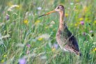 Species-rich grasslands benefit black-tailed godwit