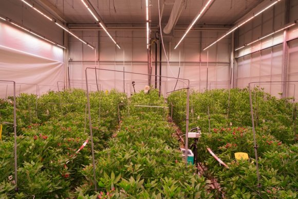 More light ensures higher production of Alstroemeria