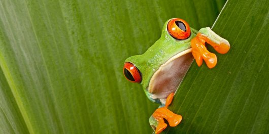 Kermit's sticky little fingers: What do we know about tree frog attachment?