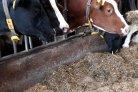 Sensoren geven inzicht in veerkracht van koeien