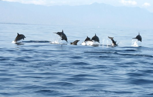 Habitat use and migration routes of spinner dolphins and other cetaceans are studied to improve marine mammal protection in marine spatial planning, in this case in Wakatobi, Indonesia. Photo: Putu Liza Kusuma Mustika