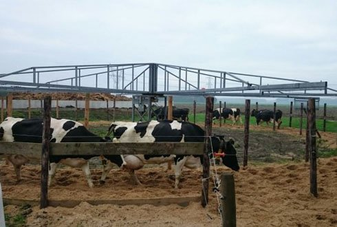 Dairy cow exercise for a longer lifespan
