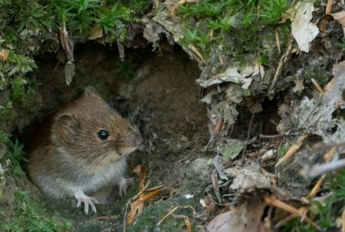 Sex in a world of fear: rodents produce more offspring when frightened