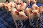 How zinc influences gut health and immune competence of pigs