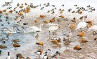 Bird flu often spread by migrating birds