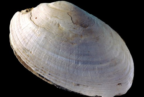 Oldest known engraving discovered on half-million-year-old shell