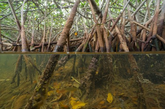 In a Dutch consortium, together with the Indonesian government and partners, researchers of Wageningen University & Research developed an innovative approach for mangrove restoration. Photo: Reindert Nijland