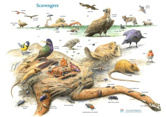 Today carcasses are scarce in lots of nature areas, which has a negative impact on many animals that use carcasses as food sources or breeding sites.