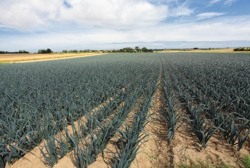 leek cultivation