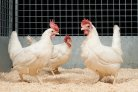 Breeding for improved disease resistance in chickens - Mirian Hendriks Fotografie
