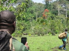 'Capturing' forest buffalos