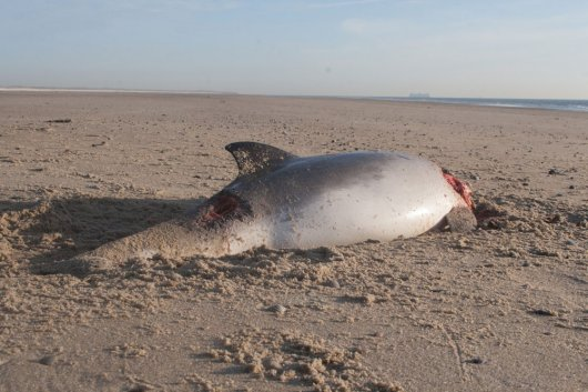 Beached dead harbour porpoise found on Texel, The Netherlands, 8-Jan-2009