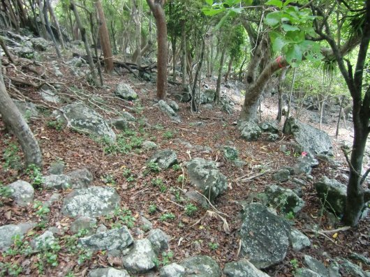Complete absence of herbaceous and shrub layers in the forest are due to excessive goat grazing.