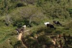 Extensive cattle grazing in La Sepultura Biosphere Reserve