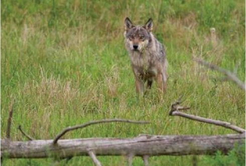 Is de wolf welkom in Nederland?