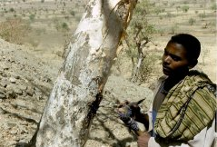 Tapping of Boswellia tree for frankincense, Gondor region, northern Ethiopia. (© Frans Bongers)
