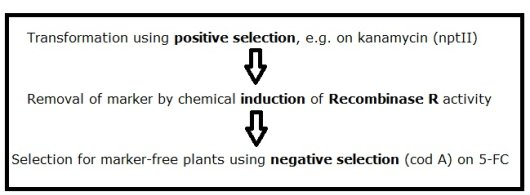 Figure 1: Election scheme for producing marker-free transgenic plants using pMF1. A similar selection scheme can be followed using pMF2 or pMF3 vectors, when positive selection on either hygromycin or phosphinothricin, respectively, is preferred.