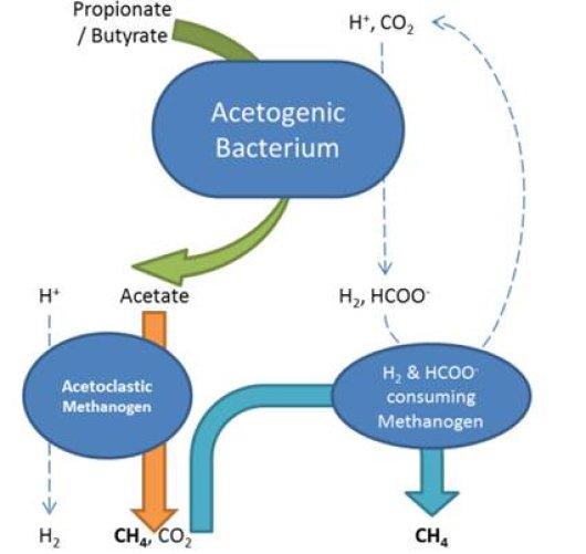 propionate bacteria
