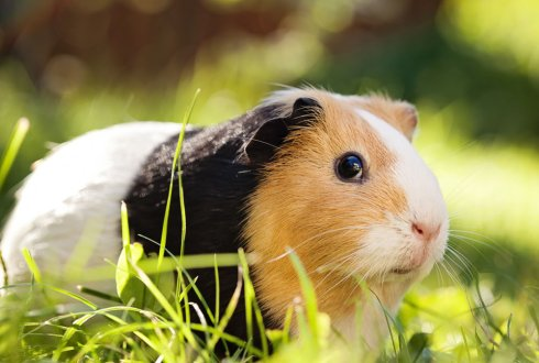 A diseased guinea pig can cause pneumonia