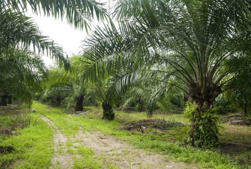 On yield gaps and better management practices in Indonesian smallholder oil palm plantations