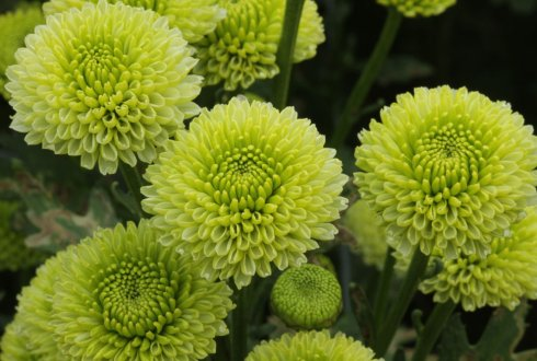 Disentangling hexaploid genetics. Towards DNA-informed breeding for postharvest performance in chrysanthemum