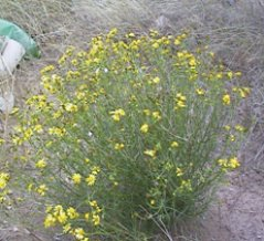 Scenecio inaequidens: an invasive plant from South Africa/Picture: Mirka Macel
