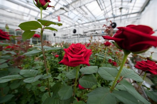 Red roses in greenhouse