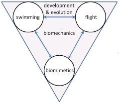 Figure 1: The primary research field of EZO is biomechanics in a zoological context. We develop fundamental knowledge on animal flight, fish swimming and for biomimetic solutions  to animal and human health problems (the main research lines).