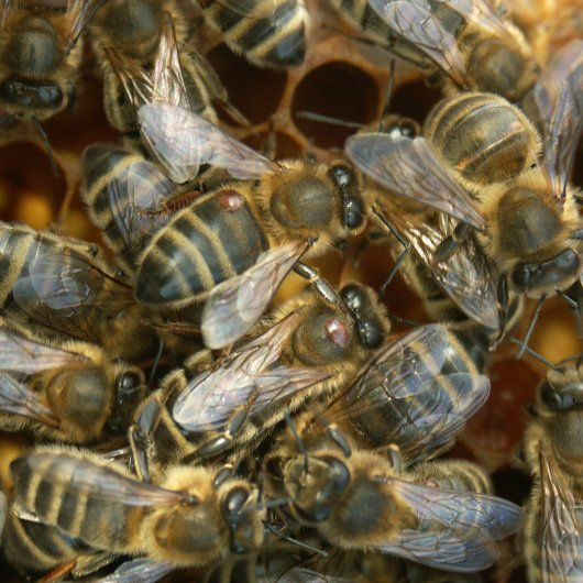 Honeybees with parasitic mites