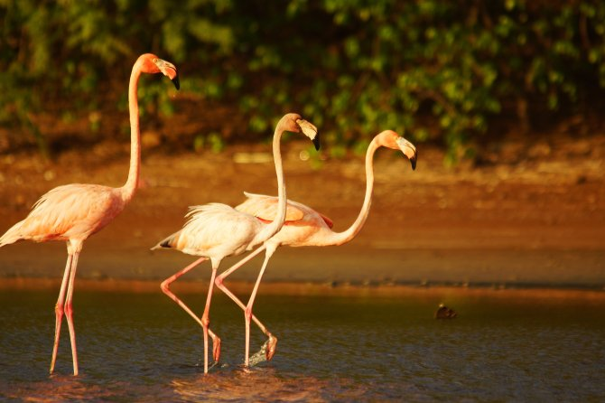 Flamingos avoided a salt lake after a petrochemical fire. Wageningen University & Research examines the risks posed to the birds as they return to the polluted lake. Photo: Steve Geelhoed