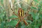 A female of the wasp spider (Argiope bruennichi), a large spider and effective predator of crickets and grasshoppers, but also of other beneficial artropods like bees and wasps. Picture by Bas Allema