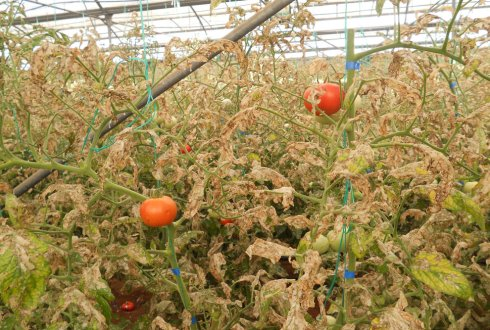 Green house with heave Tuta absoluta infestation in tomato.