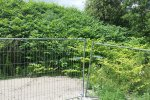 A big patch of Japanese knotweed growing on a railway embankment.