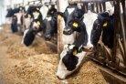 Energiebehoefte melkvee: update van het VEM-systeem