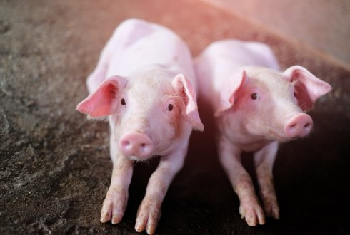 Relations between ovarian & embryonic traits in pigs. Effects of genetic selection for litter traits at birth