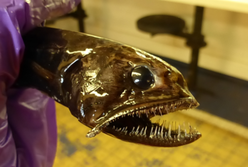 Blog: Interesting catch from the deep sea at Blue Whiting Survey