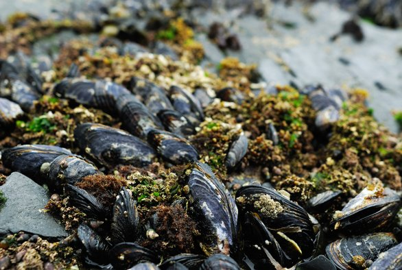 Production efficiency of mussel bottom culture