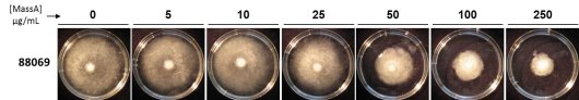 The CLP MassA inhibits mycelial growth of P. infestans