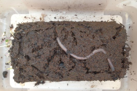 An earthworm in Mars soil simulant with an extensive system of burrows in a pot with garden cress (Source: Wieger Wamelink)