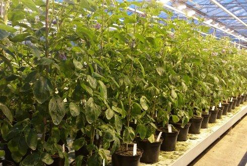 Cea mai lungă secvență a genomului de cartof, descrisă la Wageningen