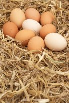 Surprising relation found between eggshell color and disease resistance