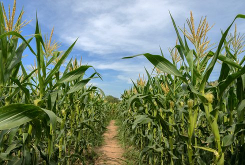 Sustainable silage maize farming requires earlier varieties