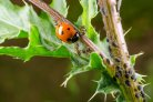 Biological control of pests and diseases