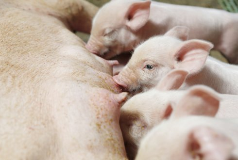 Large-scale research into streptococcus in piglets