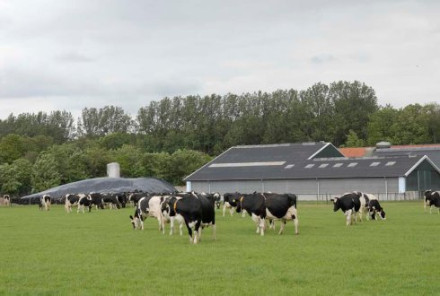 cows in pasture with in background the cowshed