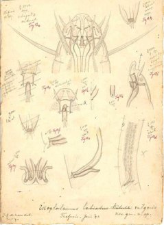 Drawings: Dr. Johannes Govertus de Man (1850 - 1930) (click on the picture for an enlargement)