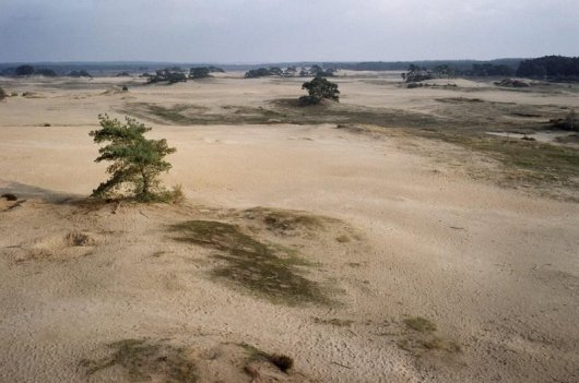 Figure 3 Inland sand dunes at the Wekeromse Zand. A problem is the increasing extent with invasive moss species (Campylopus introflexus).